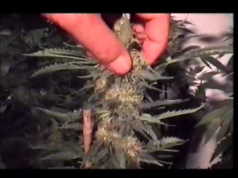Marijuana Growing Video Guide