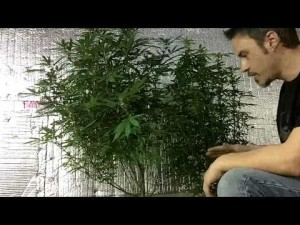 Lollipopping your Marijuana plants