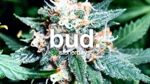 bud-marijuana-term