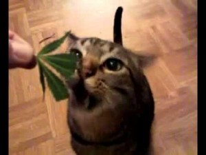 Cat Eats Marijuana