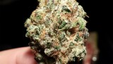 Strain Review; Berry Kush
