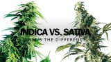 Indica VS Sativa – What's the Difference