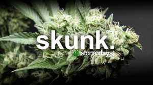 skunk-marijuana-term