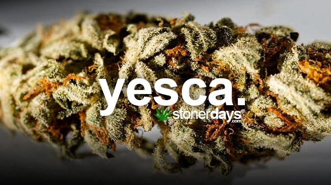 stoner dictionary yesca stonerdays. Black Bedroom Furniture Sets. Home Design Ideas