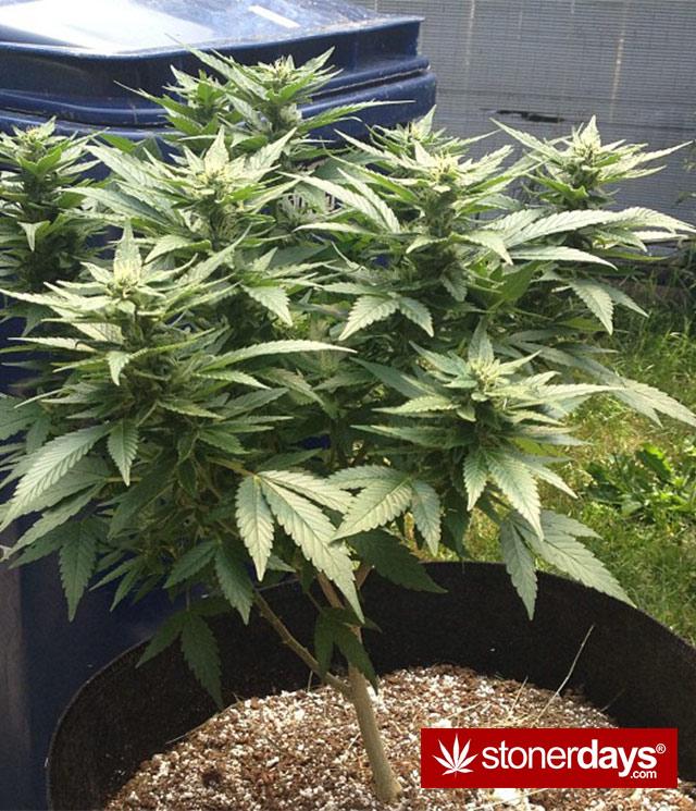 stoner-babes-marijuana-_dankyjesss-(7)