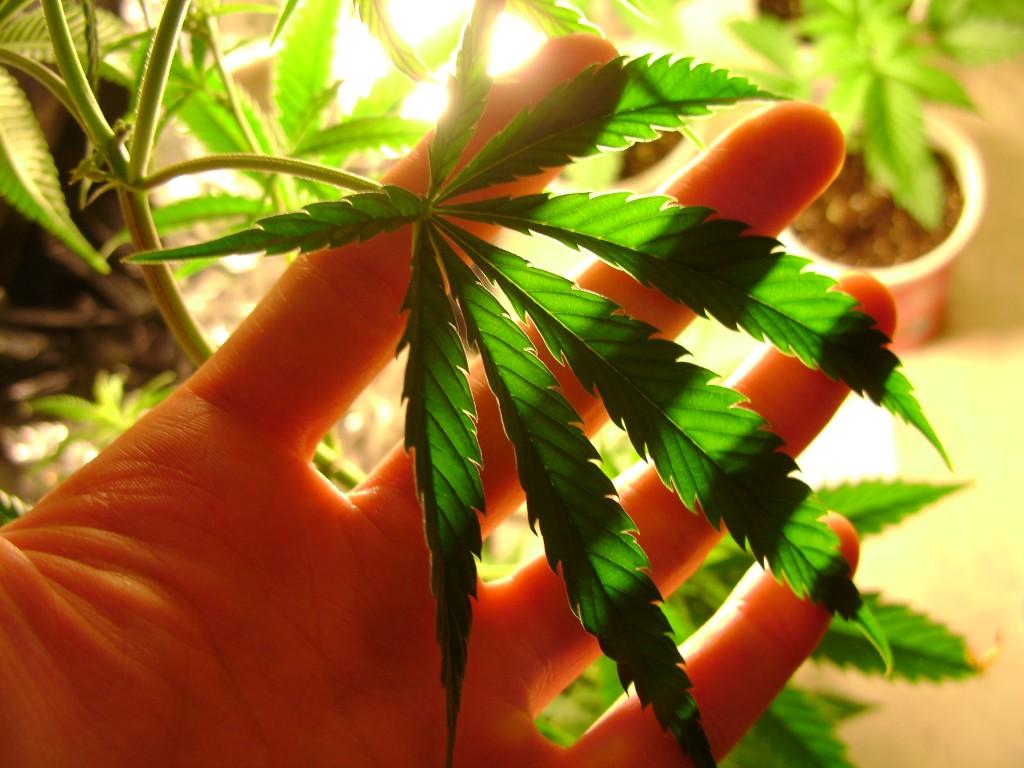 hand-holding-marijuana-leaf-1024x768
