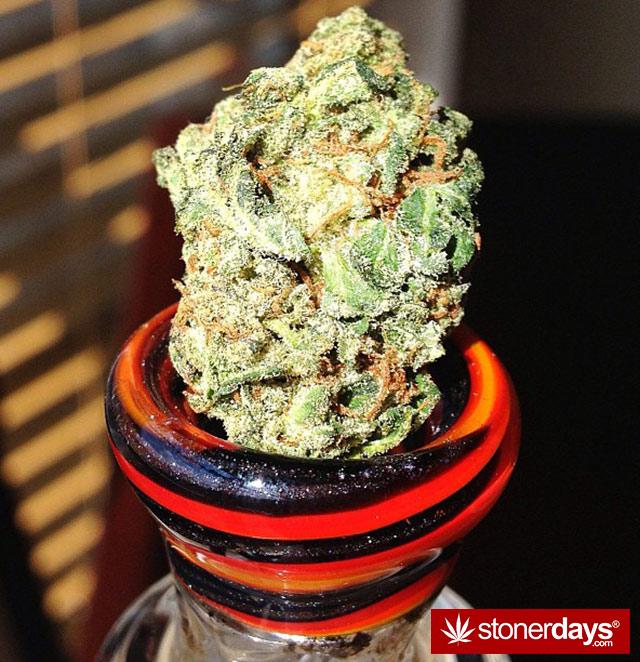 stoner-kush-marijuana-floridastoner-(52)