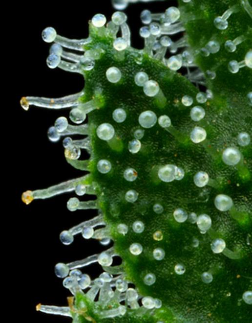 trichomes on marijuana stonerdays