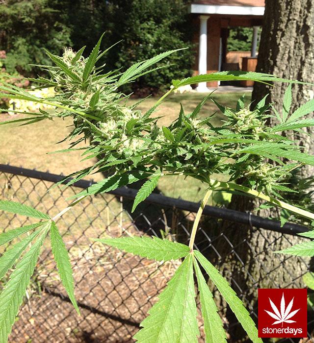 MARIJUANA-WEED-POT-420-(47)