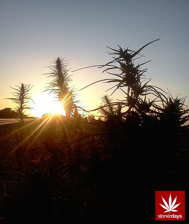 MARIJUANA-WEED-POT-420-(5)