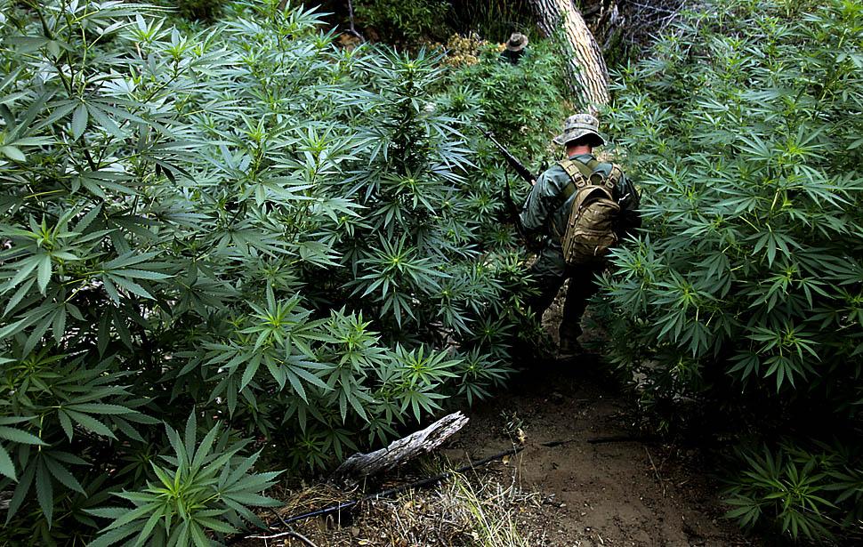 Mexican marijuana