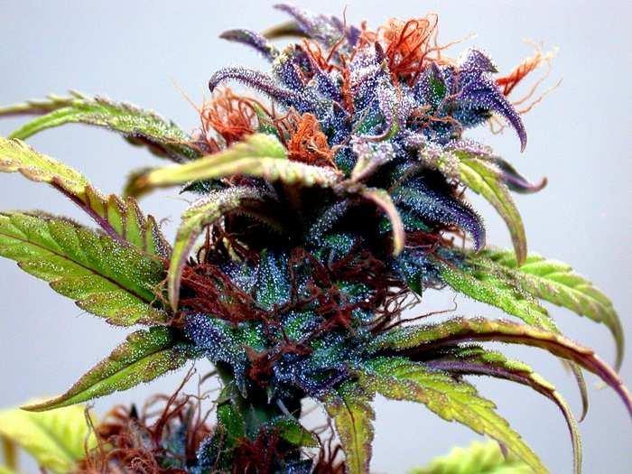 marijuana vs dabs stonerdays