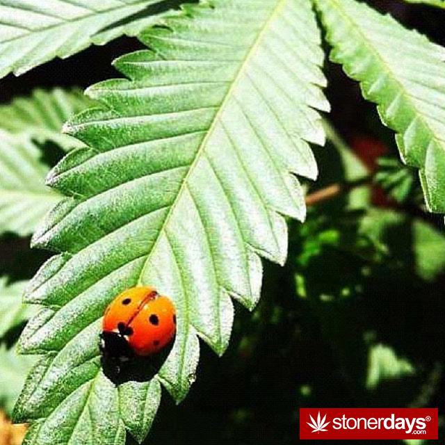 Stoner-bong-weed-marijuana-alwayzkush-(7)