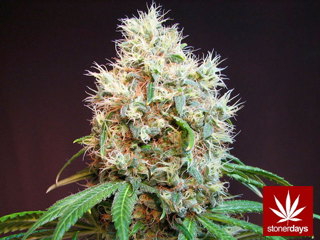 Stoner-Marijuana-StonerDays-Weed-(101)