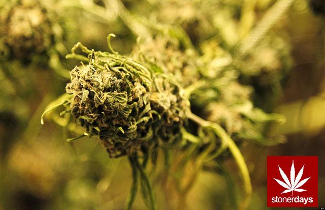 Stoner-Marijuana-StonerDays-Weed-(126)