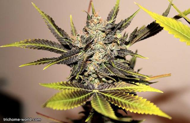 Stoner-Marijuana-StonerDays-Weed-(40)