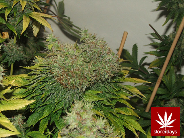 Stoner-Marijuana-StonerDays-Weed-(78)