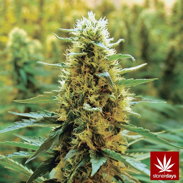 Stoner-Marijuana-StonerDays-Weed-(88)