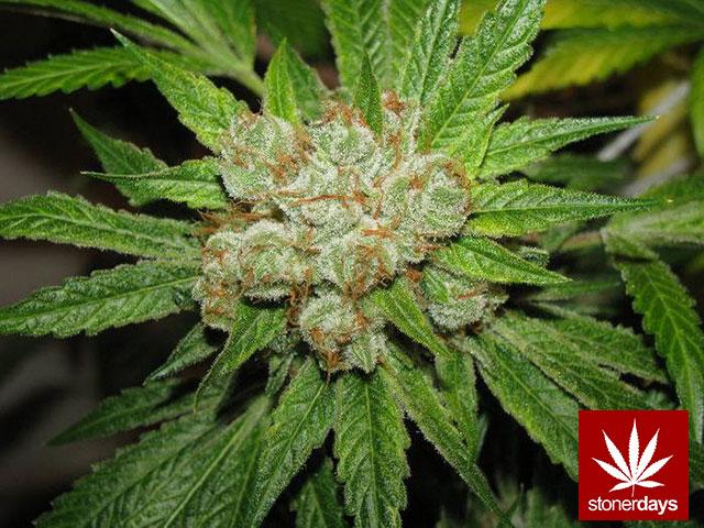 marijuana-stonerdays-420-sexy-pot-(72)