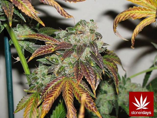 marijuana-stonerdays-420-sexy-pot-(76)