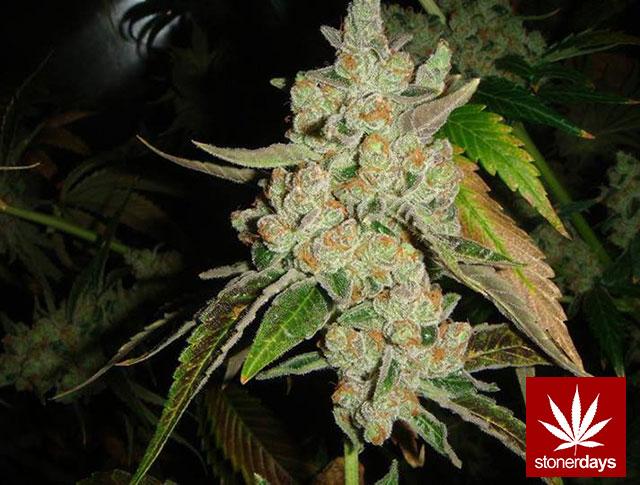 marijuana-stonerdays-420-sexy-pot-(82)
