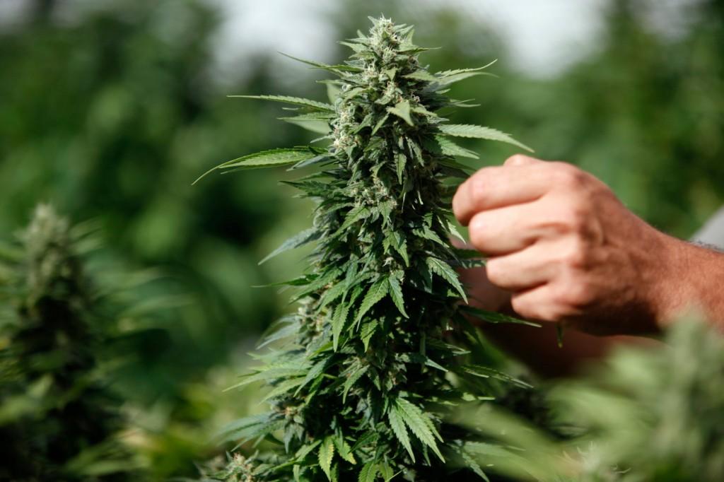 marijuana_rtr_img_0