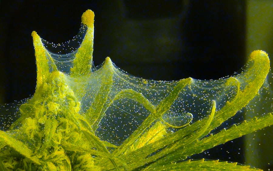 spidermites