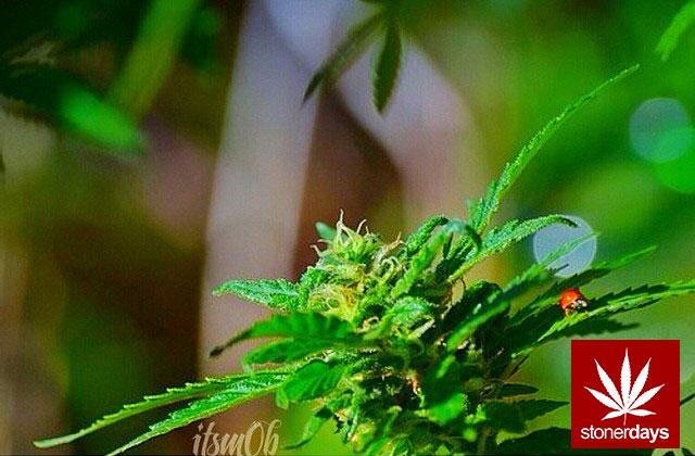 marijuana stonerdays stayblazed mls higher baked smoke tricks (142)