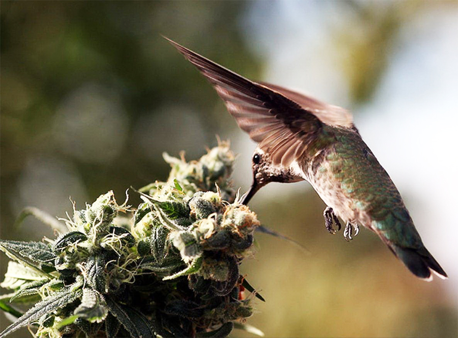 birds cannabis stonerdays