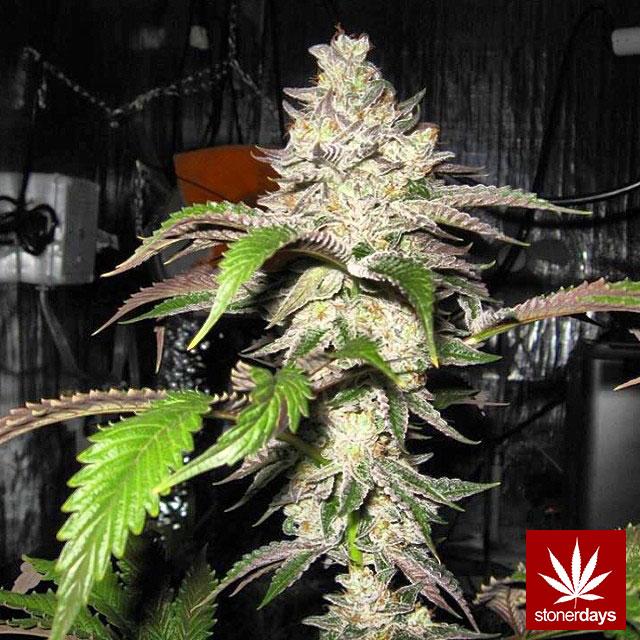 stoners marijuana pot weed stoned sexy stoner (143)