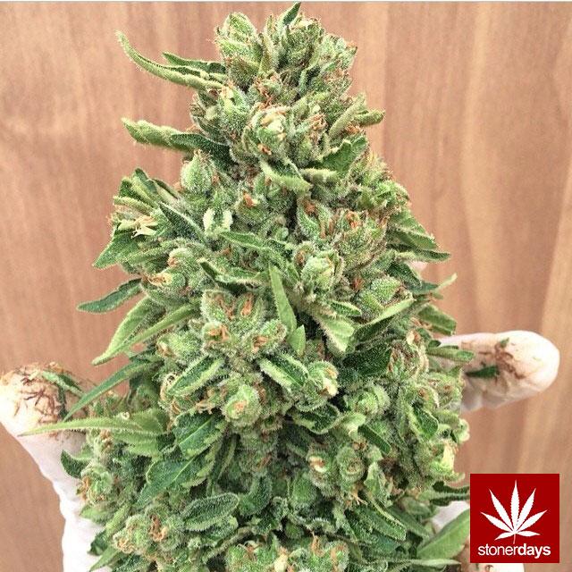 stoners marijuana pot weed stoned sexy stoner (262)