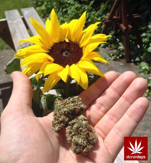 stoners marijuana pot weed stoned sexy stoner (272)