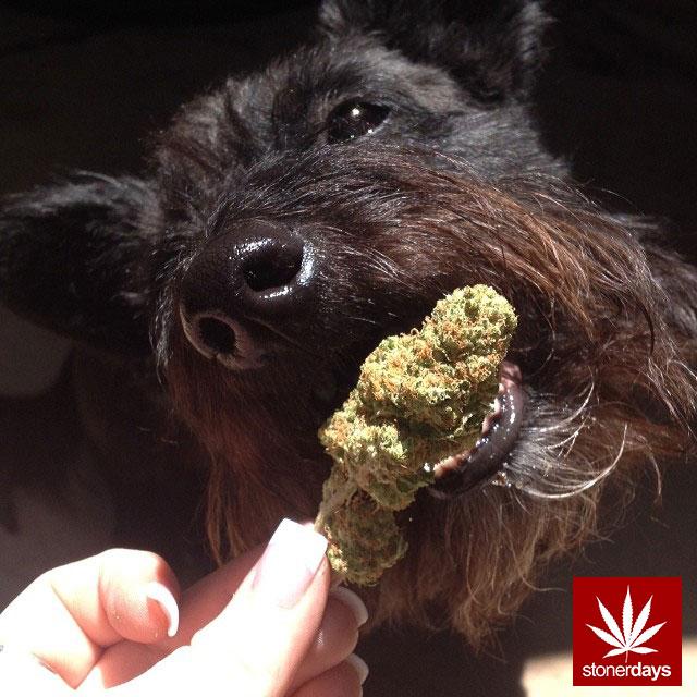 stoners marijuana pot weed stoned sexy stoner (324)