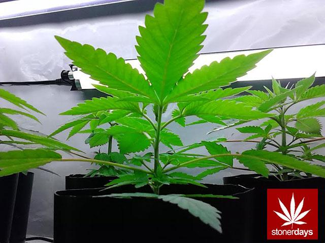 stoners marijuana pot weed stoned sexy stoner (374)