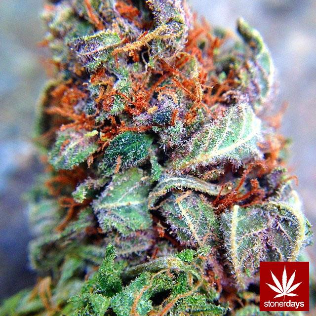 stoners marijuana pot weed stoned sexy stoner (68)