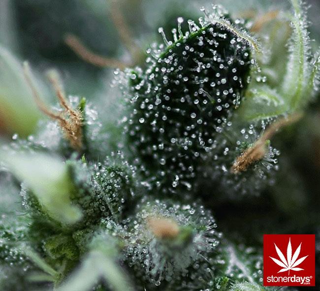 blunts-bongs-marijuana-pot-stonerdays (318)