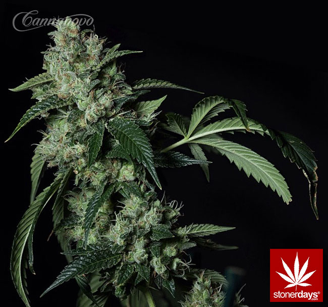 blunts-bongs-marijuana-pot-stonerdays (329)