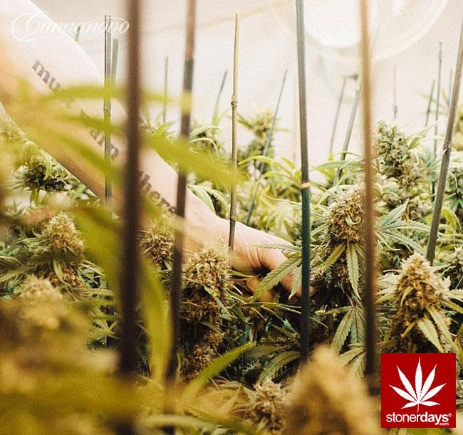 blunts-bongs-marijuana-pot-stonerdays (354)