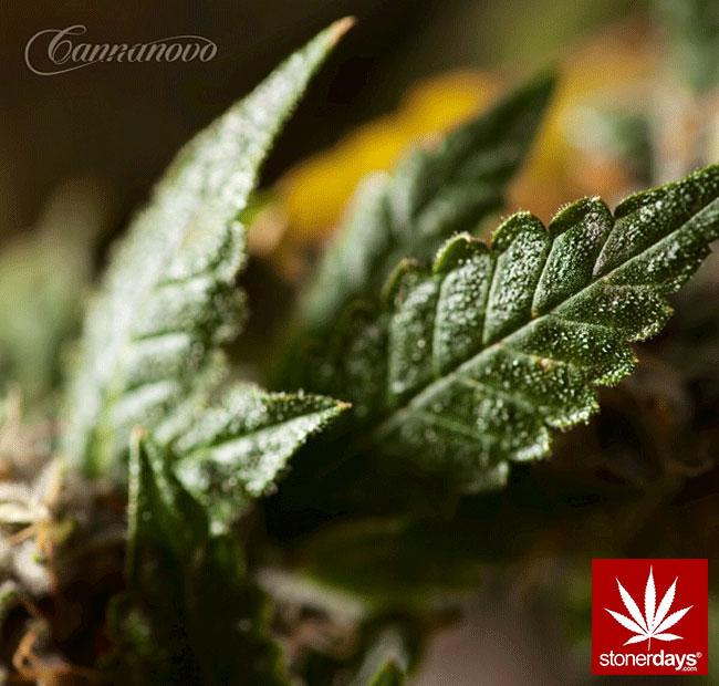 blunts-bongs-marijuana-pot-stonerdays (360)