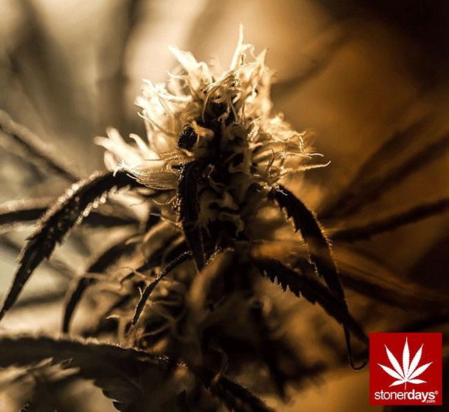 blunts-bongs-marijuana-pot-stonerdays (361)