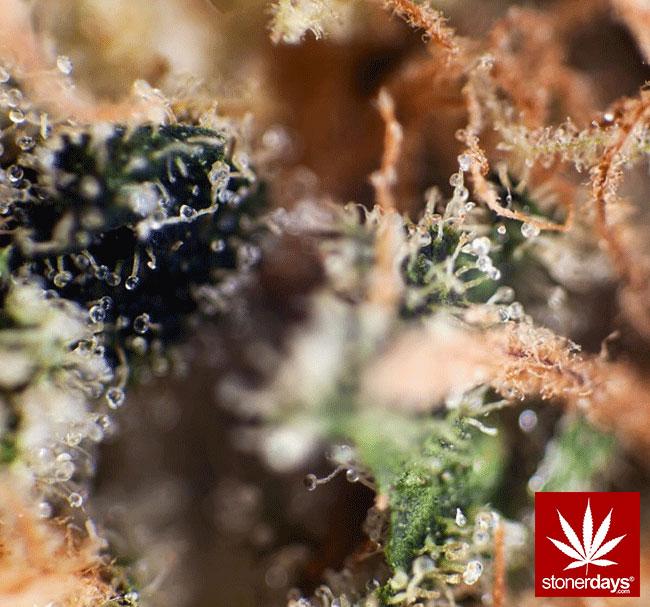 blunts-bongs-marijuana-pot-stonerdays (365)