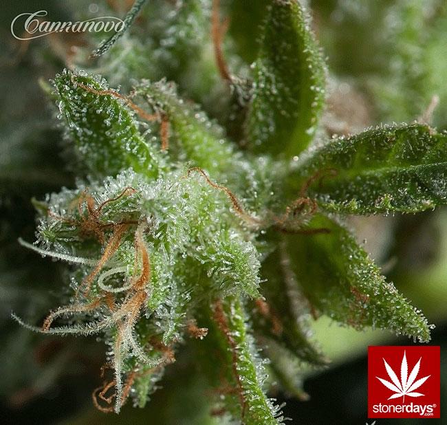 blunts-bongs-marijuana-pot-stonerdays (370)