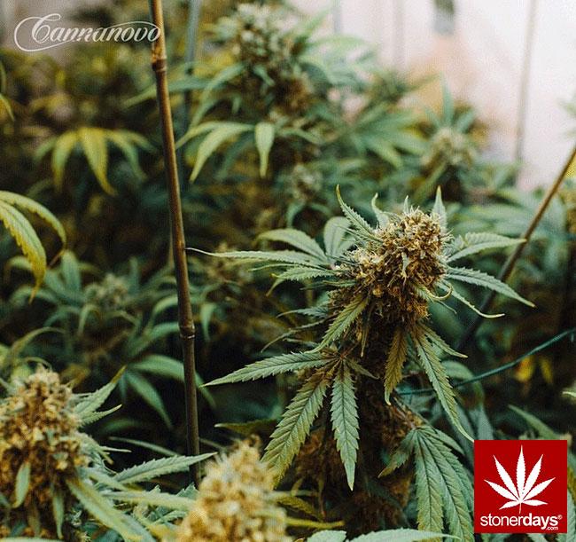 blunts-bongs-marijuana-pot-stonerdays (373)