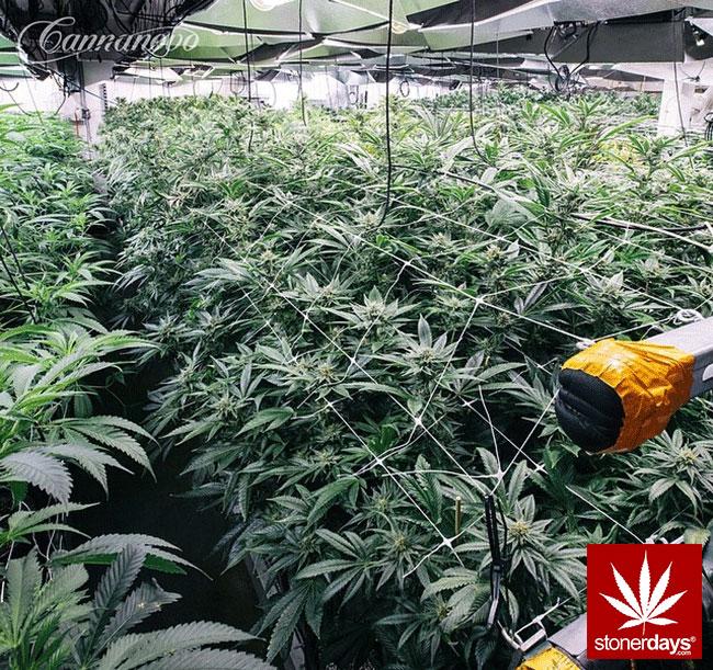 blunts-bongs-marijuana-pot-stonerdays (376)