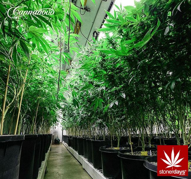 blunts-bongs-marijuana-pot-stonerdays (379)