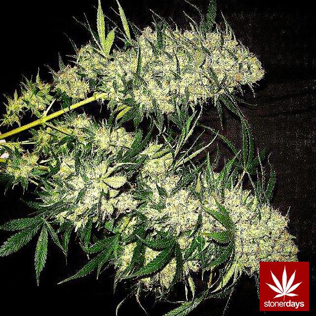 stonerdays-stayblazed-marijuana-pipes-joints-blunts-weed (165)