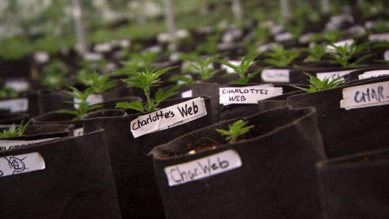 cbd-marijuana-plant