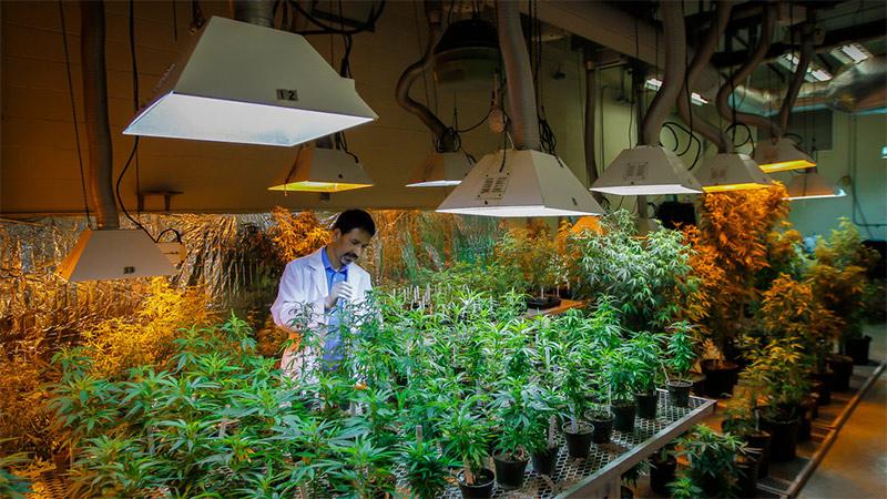 marijuana-crop-bussiness