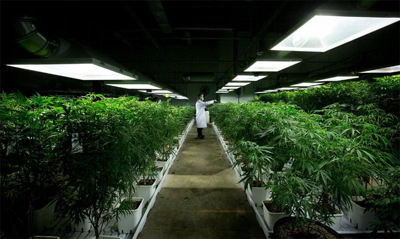marijuana-crops