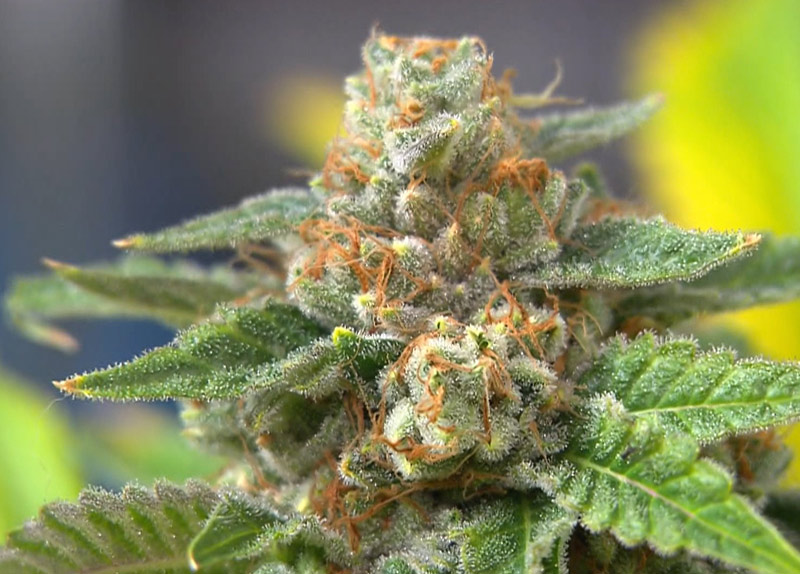 marijuana-plant-love